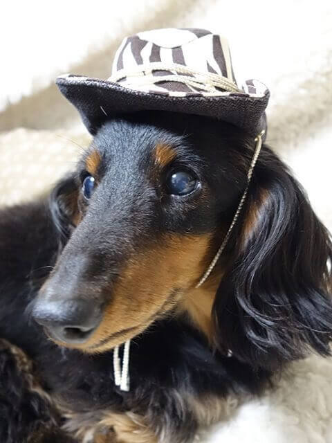 ダックスフンドモデル犬